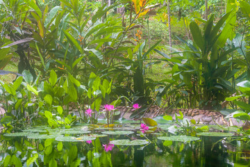 Natural pond with pink water lilies and tropical aquatic plants in the jungle in Cambodia