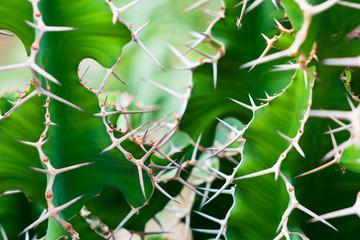 Fototapeta kolce na zielonym kaktusie tlo obraz