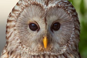 Owl, close up portrait.