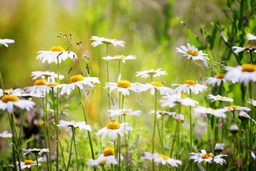 Flowers of chamomile in a meadow with shallow depth of field