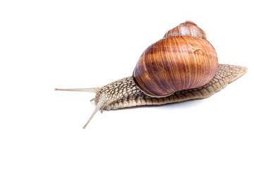 big beautiful snail