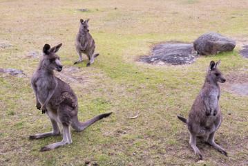 Female kangaroos standing on green grass in paddock (selective focus)