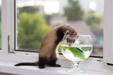 The ferret sits for 5 months on the windowsill near a window equipped with a metal net near a vase of water and an artificial fish