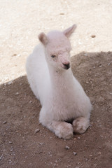 Young white llama in a Milwaukee zoo