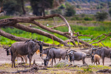 Wall Mural - African landscape. A herd of wildebeests. Nature Africa.