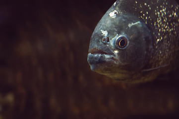 piranha fish in natural environment