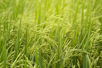 Close-up of riceplant