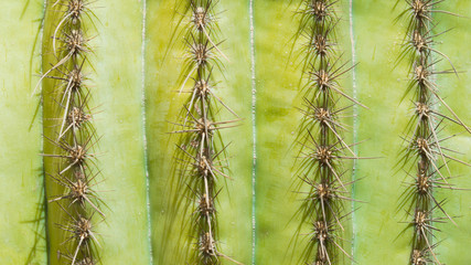 background texture rows of cactus spines