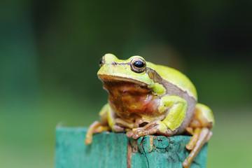 full length image of green tree frog