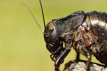 macro image of big bellied cricket