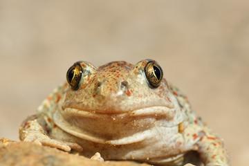 portrait of cute spadefoot toad
