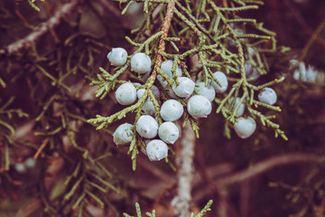 Cold Blue Desert Mountain Berries