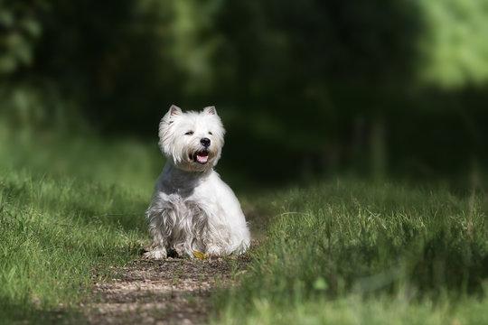 West Highland Terrier Hund beim Spaziergang