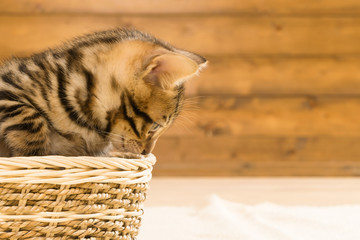 Striped kitten sitting in a wicker basket and looking to the side on a wooden wall background