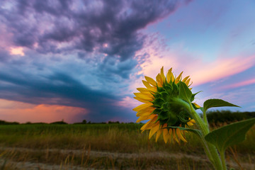 Sunflower fields profiled on warm sunset colors, in rural field in Europe