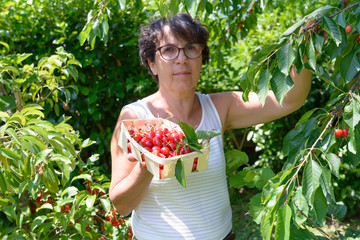 Woman picking red cherry from tree in summer garden