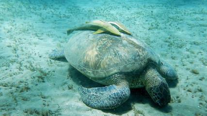 Tartaruga con pesce remora 3