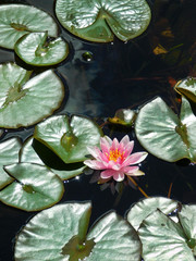 Beautiful pink water lily in a pond
