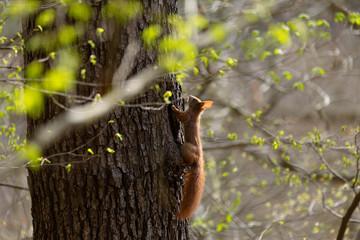 Eichhörnchen am Baum