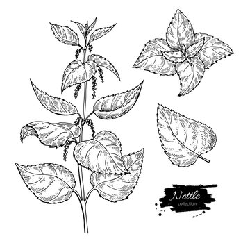 Nettle vector drawing. Isolated medical plant with leaves. Herbal engraved style illustration. Detailed
