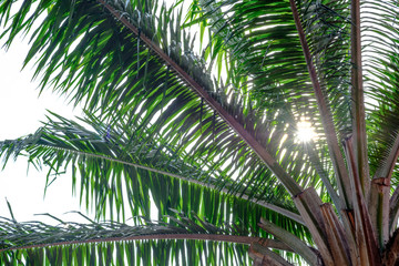 Sunlight effect on branch of palm trees