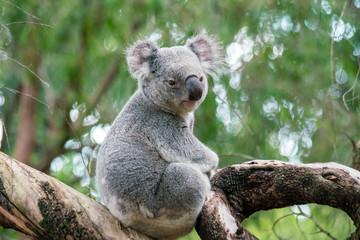 Photo Stands Koala Koala relaxing in a tree in Perth