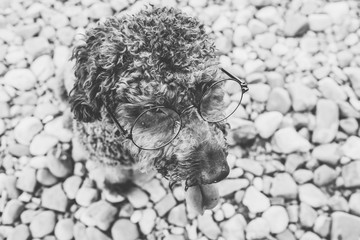 Portrait of a lovely brown spanish water dog with her tongue out wearing glasses in a stone background. Black and white portrait..
