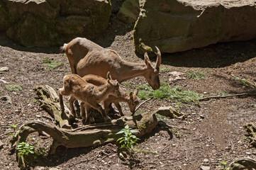 Alpine ibex, Alpebsteinbock, Zicklein