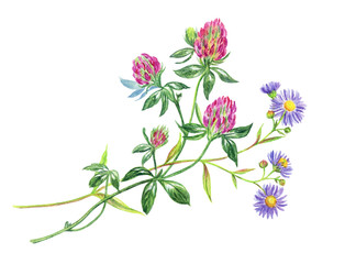 Bouquet with clover and wild asters, watercolor drawing on a white background with clipping path.