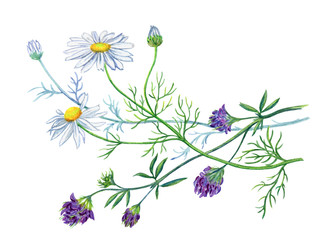 Bouquet with daisies and alfalfa, watercolor drawing on a white background with clipping path.