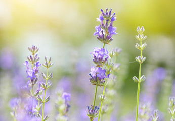 Lavender flower blooming scented field close up. Bright natural background with sunny reflection.