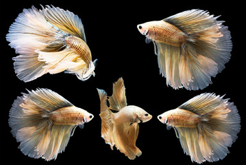 Betta fish, moving moment of Siamese fighting fish isolated on black background, fighting fish.