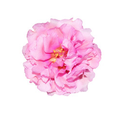 isolated flower portulaca oleracea on white background