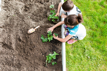 Two children planting strawberry plants in garden, overhead view