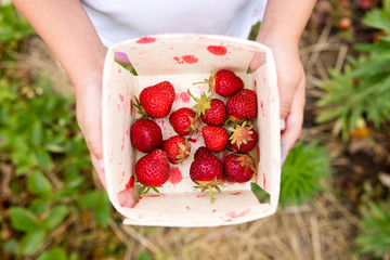 Person holding basket of freshly picked strawberries, overhead view, close-up