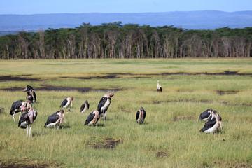 Maribou Stork - Kenya