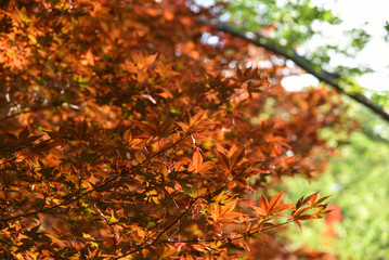 maple leaf red autumn in the nature garden.