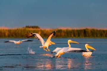 Pelicans landing in Delta Dunarii, Romania
