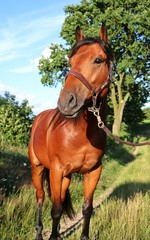 quarter horse portrait in der natur