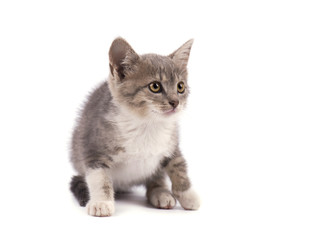 Beautiful small gray kitten isolated on white background