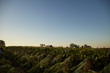 landscape of tobacco farm in Kentucky.