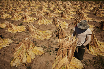 Man in tobacco field, Kentucky, USA Fototapete
