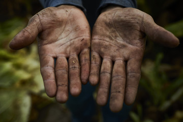 Detail shot hands of a Hispanic migrant worker, harvesting tobacco in Kentucky.