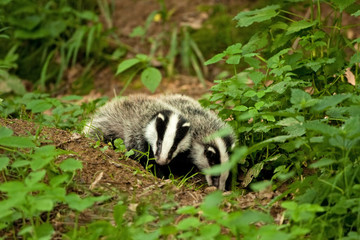 european badger , meles meles, Czech republic