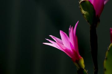 close up of hatiora rosea flowering