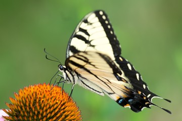 Eastern Tiger Yellow Swallowtail Butterfly on Cone Flower from My Backyard