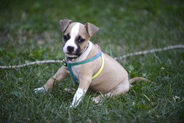 american staffordshire terrier puppy outdoors on a grass