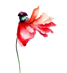 Red Poppy flower with petal fall off
