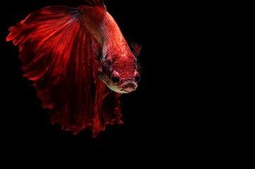 Siamese Fighting Fish Swimming Against Black Background