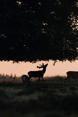 Zelfklevend Fotobehang Schapen Silhouette of red deer stag at sunset reaching out for a branch.